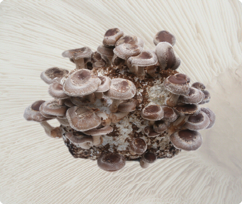 Grow your own Shiitake mushrooms